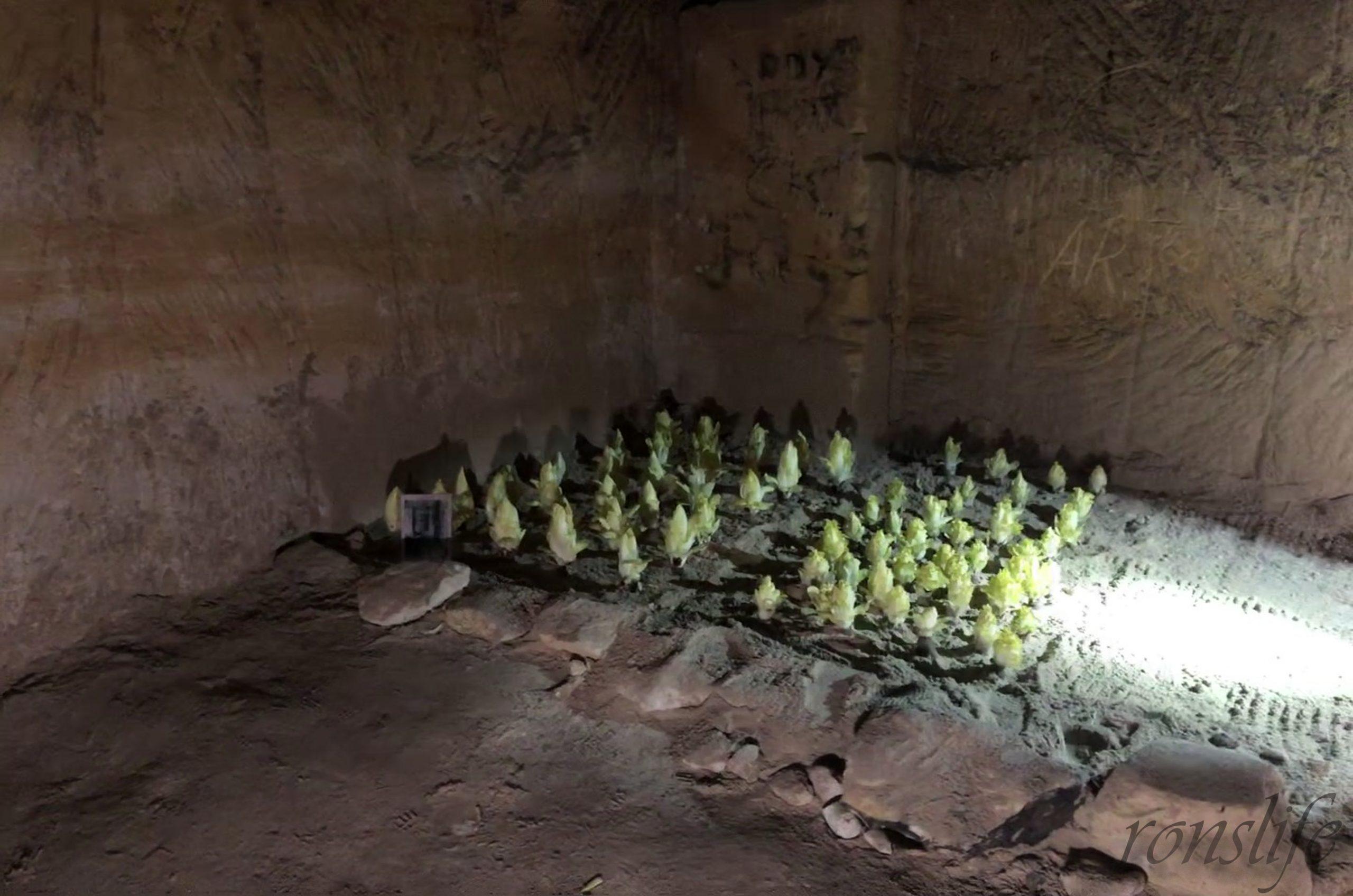 Plantzoen met witloof in Grotten Noord Maastricht